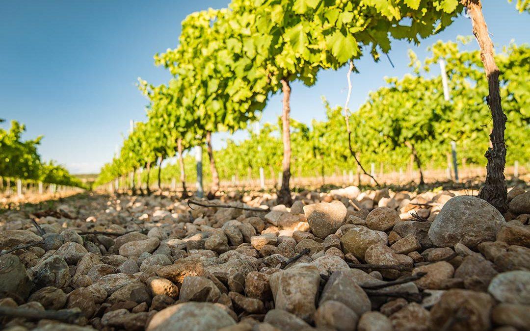 ¿Cómo afecta la tierra a los viñedos? Wine Curiosities